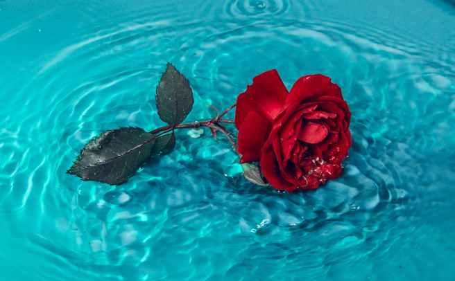 red rose on blue water